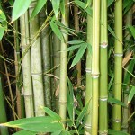 BEAUTY SECRETS FROM THE WILD – BAMBOO TAKES ROOT